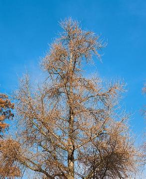 Maidenhair Tree, Winter impression