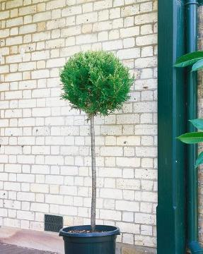 Immergrünes Gehölz, long stemmed, Nadelgehölz, Plant container «Accessories in the Garden», topiary pruning, x Cuprocyparis (Genus)