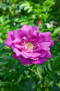 Japanese Rose, single flower