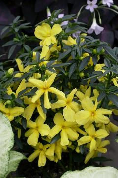 Climber and Rambler, Duftpflanze, Jasminum mesnyi, Shrubs and Palms, Zimmerpflanze