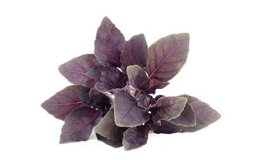 Blattschmuckpflanze, Ocimum basilicum Dark Opal, Spice plant, white background