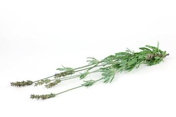 Duftpflanze, Lavandula dentata, Spice plant, white background