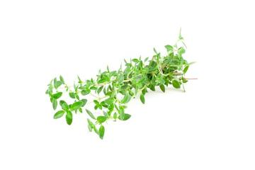white background, Wild Thyme
