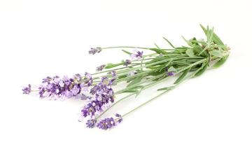 Lavandula angustifolia, white background