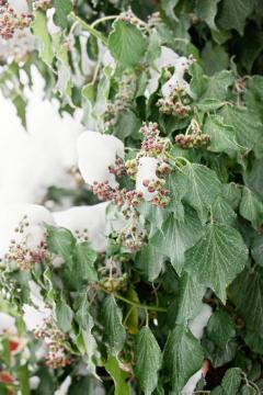 impression, ivy (Genus), Winter impression, Winter, Winterzauber, Winterzeit