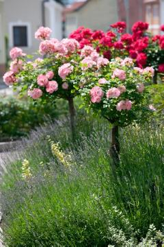lavender (Genus), long stemmed rose, long stemmed