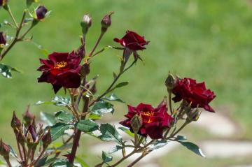 Miniature rose, rose (Genus)