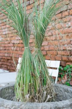 Ornamental Grass, Ornamental Grasses, silvergrass (Genus), Winter Conservation