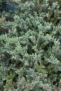 conifer, Juniperus (Genus)