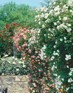 Mixture (Mix), rambler, Rosa (Genus), Rose garden