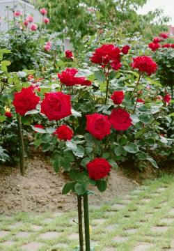 Hybrid Tea, long stemmed rose, long stemmed