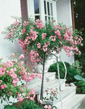 Ground cover rose, House entrance, long stemmed