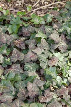 Blattschmuckpflanze, Climber and Rambler, Common Ivy, ivy (Genus)