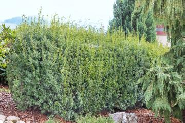 hedge plant, hedge, Taxus baccata