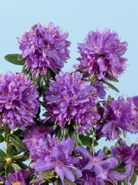 Lapland Rhododendron