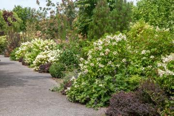 Barberry, butterflybush (Genus), deciduous trees and shrubs, hydrangea (Genus), Mixture (Mix)