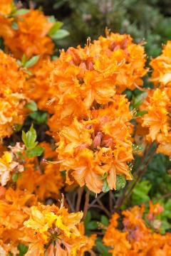 Common Yellow Azalea