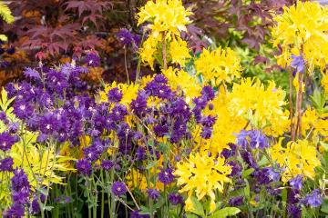 Aquilegia vulgaris, Common Yellow Azalea