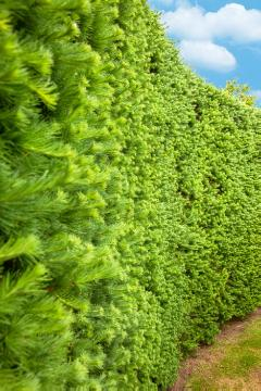 hedge, Picea abies