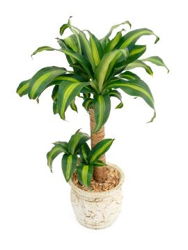 Dracaena fragrans, white background