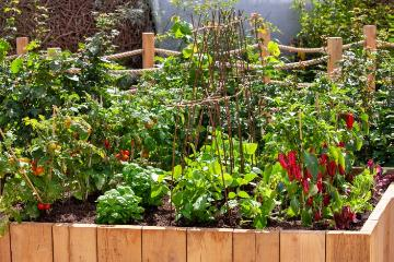 Basil Corsican, bush bean, Capsicum annuum, raised bed, Tomato