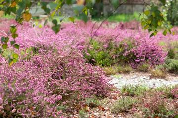 atmosphere, Calluna vulgaris, Plants for Acid Soil