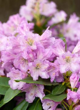 Rhododendron Hybride