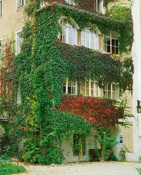 fall foliage, House wall greening, Parthenocissus tricuspidata