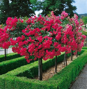 long stemmed rose, rambler