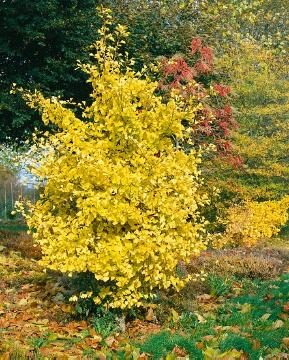 Autumn, Maidenhair Tree