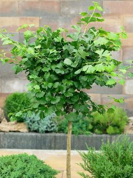 long stemmed, Maidenhair Tree