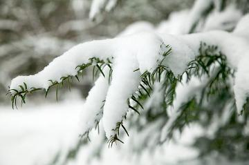 atmosphere, snow, Taxus baccata, twig, Winter impression