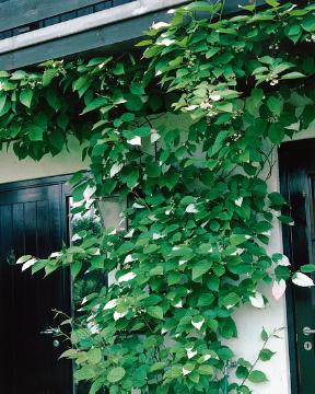 Actinidia kolomikta, facade, planting vegetation on wall, Wandschmuck