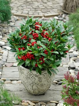 Fruchtschmuckpflanze, Japanese Skimmia, Kübelpflanze, Plant container «Accessories in the Garden», Plants for Acid Soil, Shrubs and Palms