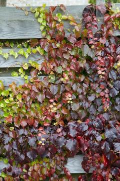 Blattschmuckpflanze, Climber and Rambler, fall foliage, fall impression, Parthenocissus tricuspidata, planting vegetation on wall, Shrubs and Palms