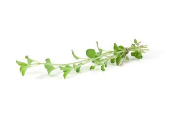 Origanum vulgare subsp. hirtum, Origanum vulgare, Spice plant, white background