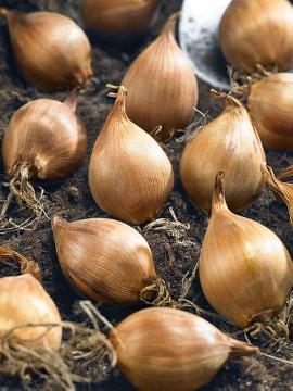 Bulb, Dutch Iris, Gartenschaufel, planting flower bulbs, Soil, topfen