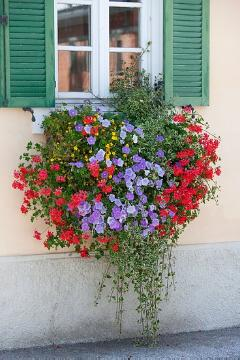 annuals, beggarticks (Genus), Einjährige Pflanzen Mischung, Fensterschmuck, Pelargonium (Genus), petunia (Genus), plectranthus (Genus), window box, window