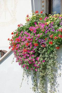 annuals, Argyranthemum (Genus), Einjährige Pflanzen Mischung, Fensterschmuck, Pelargonium (Genus), petunia (Genus), plectranthus (Genus), window box, window