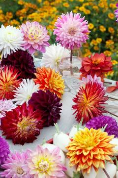 atmosphere, Bulb and corm, dahlia (Genus), Mixture (Mix)