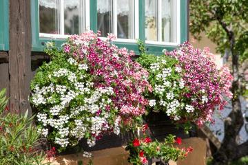 annuals, Fensterschmuck, Pelargonium (Genus), petunia (Genus), window box, window