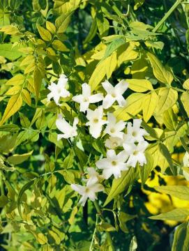 Climber and Rambler, Common Jasmine, jasmine (Genus)