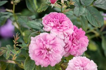 Damask Rose, Shrub rose
