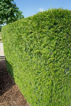 hedge, Shrubs and Palms, Thuja occidentalis
