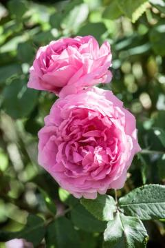 Damask Rose, rose (Genus), Shrub rose