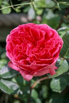 English Rose, single flower