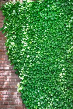 Climber, Common Ivy, Hauswand, House wall greening, ivy (Genus)