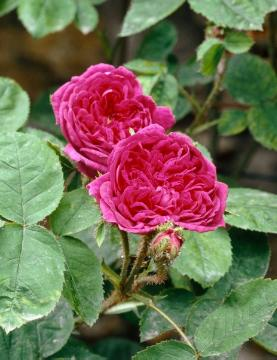 Damask Rose, rose (Genus)