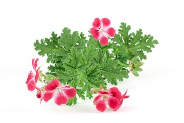 Duftpflanze, edible flower, Pelargonium scabrum Madame Nonin, Spice plant, white background