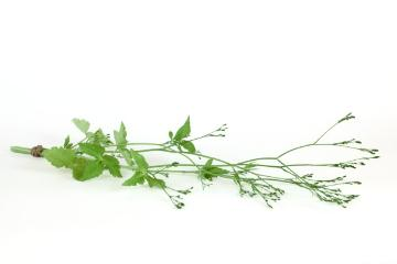 Mitsuba, Spice plant, white background